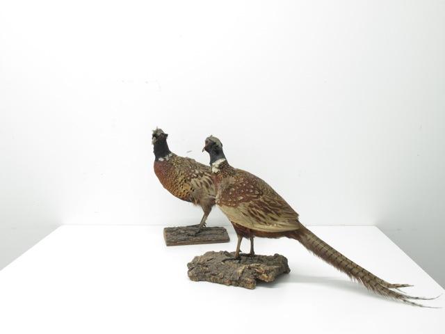 two pheasants