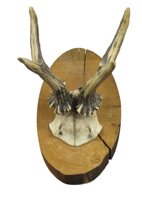 Taxidermy Four Point Antlers and Skull Section on Oval Branch Plaque