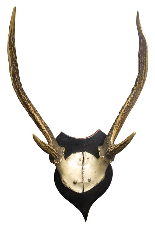 Taxidermy Mounted Four Point Deer Antlers and Skull Fragment