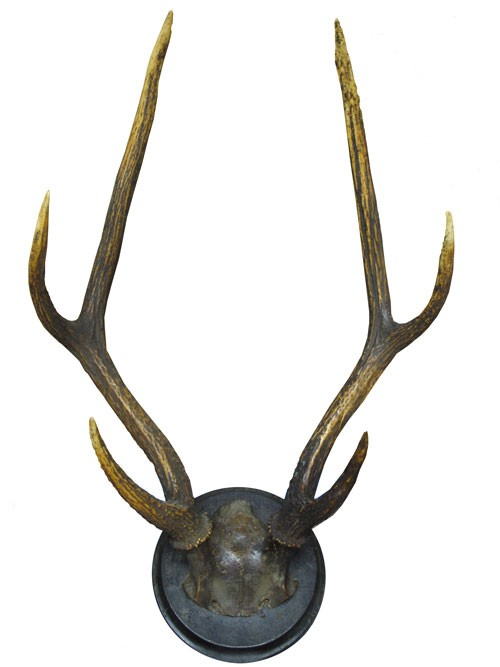 taxidermy tall dark branched six point antlers with skull fragment